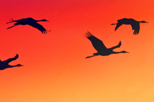 Geese flying. Photo: National Park Service.